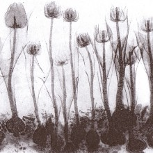 Tulips : Solar Etching : Annabelle Deutsch